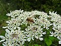 Hoverfly (27371183374).jpg