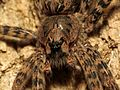 Huge Fishing Spider - Flickr - treegrow (1).jpg