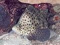 Humpback grouper (Cromileptes altivelis) (39762209023).jpg