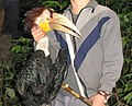 Hunting Wreathed Hornbill.jpg