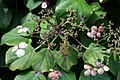 Hydrangea anomala petiolaris 9zz.jpg
