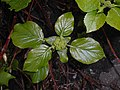 Hydrangea petiolaris 2016-04-19 8154.JPG
