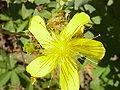 Hypericum olympicus1.jpg