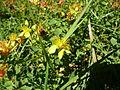 Hypericum tetrapterum 01 by Line1.jpg