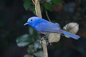 Black-naped monarch - A male (H. a. montana) from Kaeng Krachan in Thailand.