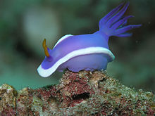 Blue nudibranch with a white line around its middle and an anemone-like projection off its back clinging to a rock