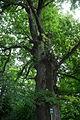 ID 863 Quercus.jpg