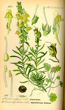 Illustration Linaria vulgaris0.jpg