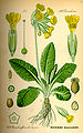 Illustration Primula veris0.jpg