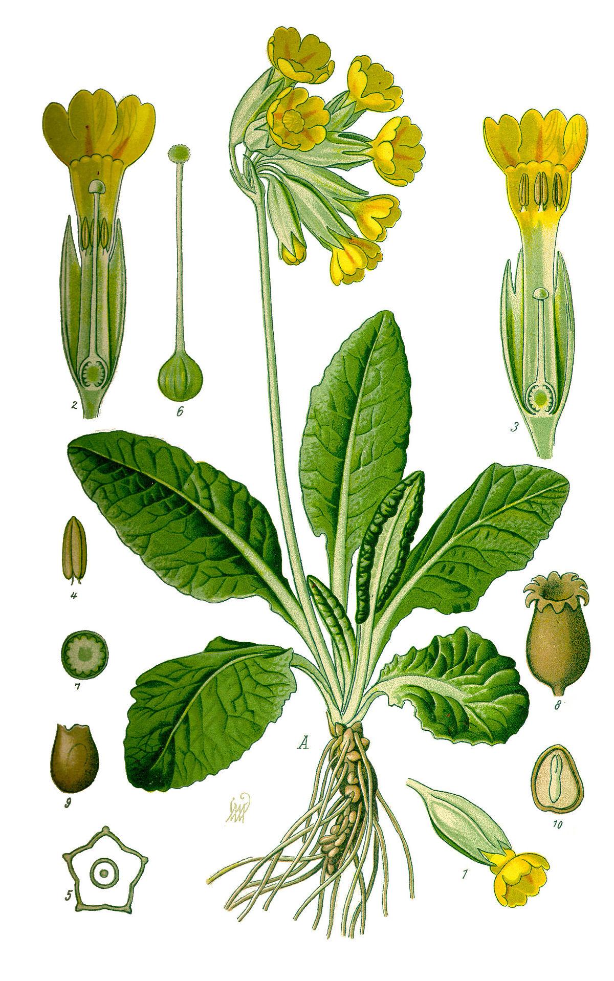 Primula Veris Extract