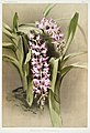 Illustration from Reichenbachia Orchids by Frederick Sander, digitally enhanced by rawpixel-com 176.jpg
