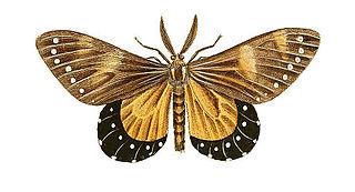 <i>Otroeda nerina</i> species of insect