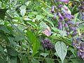 Impatiens uniflora - Flickr - peganum (2).jpg