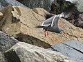 Inca tern bird - Rosa Nautica restaurant - Miraflores - Lima, Peru (4870140418).jpg