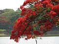 India - Bangalore - 019 - beautiful tree in bloom (3280371575).jpg