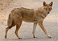 Indian Jackal 02 (cropped).jpg