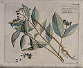 Indian Snakeroot or Java Devilpepper (Rauvolfia serpentina ( Wellcome V0042670.jpg