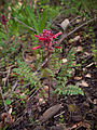 Indian warrior (Pedicularis densiflora) (4360766027).jpg