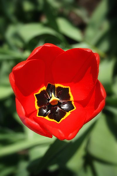 tepale de tulipe