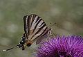 Iphiclides podalirius - Scarce Swallowtail.jpg