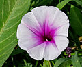 Ipomoea aquatica (Marsh Glory) flower W IMG 0403.jpg