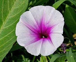 Ipomoea aquatica (Marsh Glory) flower W IMG 0403