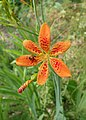 Iris domestica kz01.jpg