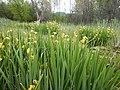 Iris pseudacorus - paleyellow iris - Flickr - Matt Lavin (6).jpg