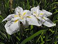 Irisensatakogesha.jpg