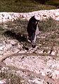 Irrigating by hand, Afghanistan, 1976.jpg