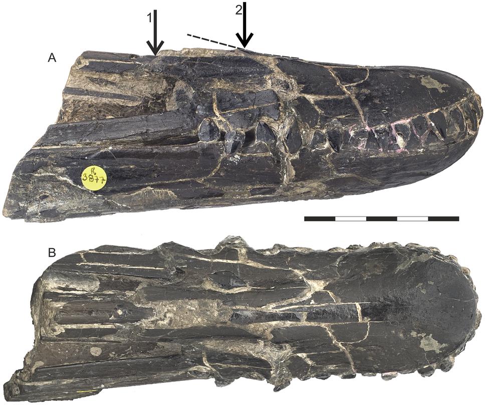 Istiodactylus snout