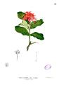 Ixora coccinea Blanco1.21.png