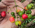 Ixora malabarica fruits 01.JPG