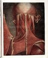 J.F. Gautier d'Agoty, Myologie complette en coleur... Wellcome L0023740.jpg