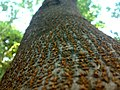 JNU Tree Bark.jpg