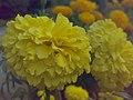 JNU Two Marigold Flowers.jpg