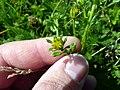 Jacobaea vulgaris subsp. dunensis inflorescence (02).jpg
