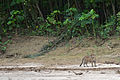 Jaguar Madre de Dios Peru.jpg
