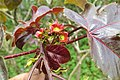 Jatropha gossypiifolia - Bellyache Bush - at Beechanahalli 2014 (1).jpg