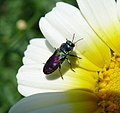 Jewel Beetle. Anthaxia sp. Buprestidae (32052705885).jpg