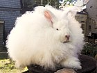 Joey Giant Angora Buck-rebalanced.jpg