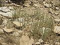 Judean Desert IMG 1840.JPG