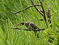 Junger Kuckuck gefüttert vom Teichrohrsänger im Naturschutzgebiet Halbinsel Holnis.jpg