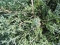 Juniperus chinensis Pfitz Glauca 1zz.jpg
