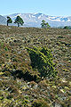 Juniperus communis Cairngorm vista.jpg