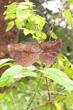 Junonia iphita Cramer, 1779 – Chocolate Pansy mating at Peravoor 2014 (6)