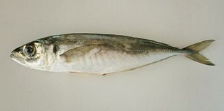 Mediterranean horse mackerel species of fish