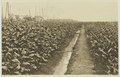 KITLV - 26866 - Kleingrothe, C.J. - Medan - Mature tobacco and seed trees in Deli - circa 1905.tif