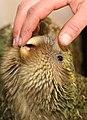 Kakapo chick nibbling hand (8529385288).jpg