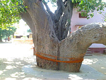 Kalpavriksha in Rajasthan. Two large trees trunks with sacred threads tied to it.